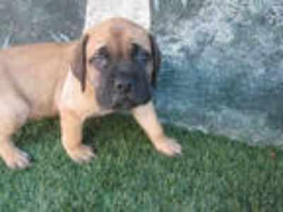 Adopt BOOMER a Brown/Chocolate Mastiff / Mixed dog in Winter Haven