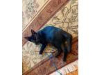 Adopt Tyrion a Black (Mostly) Domestic Shorthair / Mixed (short coat) cat in