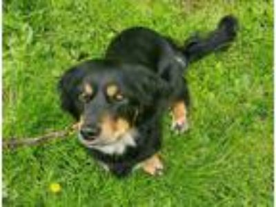 Adopt Marty a Black - with Tan, Yellow or Fawn Dachshund / Spaniel (Unknown