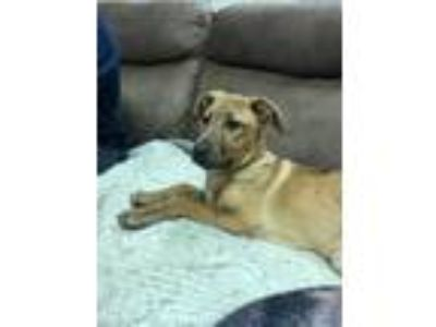 Adopt Wynona a Brindle Flat-Coated Retriever / Boxer / Mixed dog in Fishkill