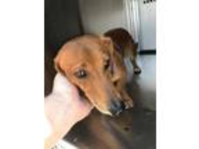 Adopt Hunter a Red/Golden/Orange/Chestnut Dachshund / Mixed dog in Fort Worth