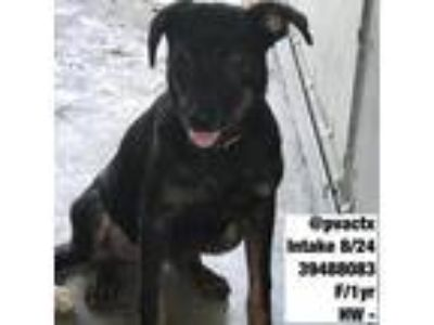 Adopt Jade a Black Shepherd (Unknown Type) / Mixed dog in Rio Rancho