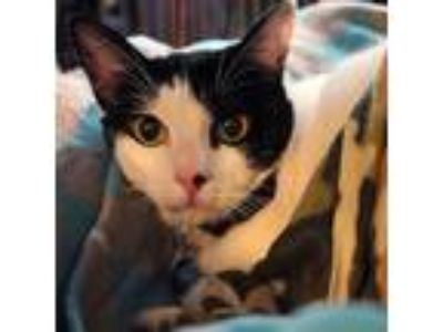 Adopt Atlas a Black & White or Tuxedo Domestic Shorthair (short coat) cat in