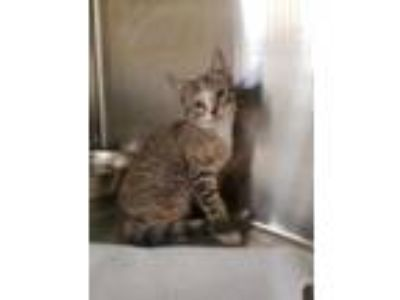 Adopt Plum a All Black Domestic Shorthair / Domestic Shorthair / Mixed cat in