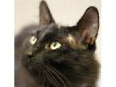 Adopt Colin (mcas) a Domestic Mediumhair / Mixed (medium coat) cat in Troutdale