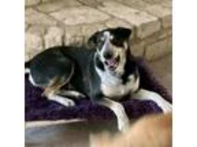 Adopt Bullet a Black Blue Heeler / Labrador Retriever dog in Kaufman