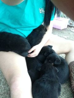 labcollie puppies (monroe)