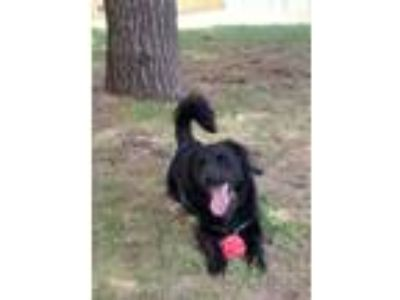 Adopt Timmy a Black - with White Collie / Flat-Coated Retriever / Mixed dog in