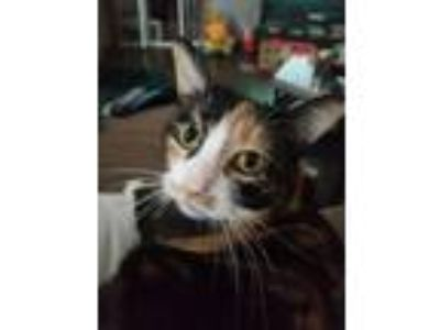 Adopt Frida a Calico or Dilute Calico Calico cat in Blaine, MN (25357981)