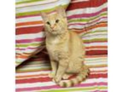 Adopt The Gymnastic Kittens - Kip a Domestic Short Hair