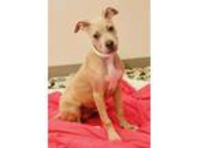 Adopt Caramel a American Pit Bull Terrier / Mixed dog in Oakland, CA (25540047)