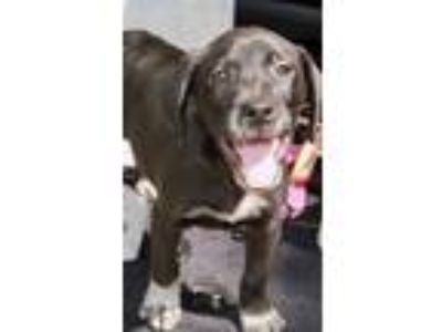 Adopt Crawley Lonestar a Black - with White German Shorthaired Pointer / Border