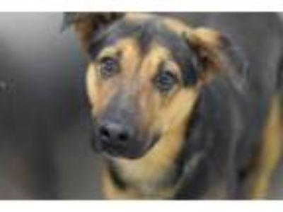 Adopt LASANDER* a German Shepherd Dog, Mixed Breed