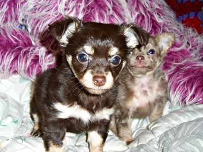 Chihuahua PUPPY FOR SALE ADN-96048 - CKC Long Haired Chihuahua Puppy Rosie