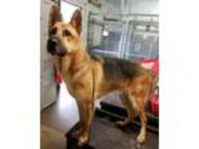 Adopt Buck a Black - with Tan, Yellow or Fawn German Shepherd Dog / Mixed dog in