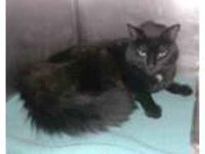 Adopt Rickie a Domestic Long Hair