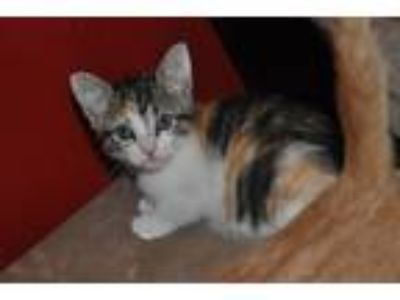Adopt Sansa a Calico or Dilute Calico Domestic Shorthair (short coat) cat in