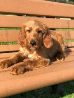 Goldendoodle PUPPY FOR SALE ADN-104004 - Gipsy  F1 Goldendoodle
