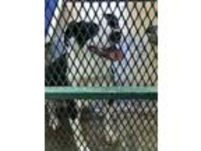 Adopt Megan a Border Collie / Terrier (Unknown Type, Medium) dog in Atlanta