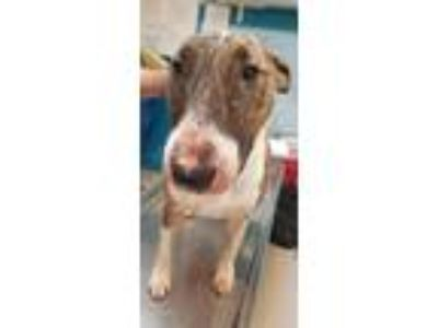 Adopt Roxy a Bull Terrier / Mixed dog in Vineland, NJ (25922925)