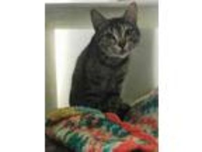 Adopt Willow 414-19 a Brown or Chocolate Domestic Shorthair / Domestic Shorthair
