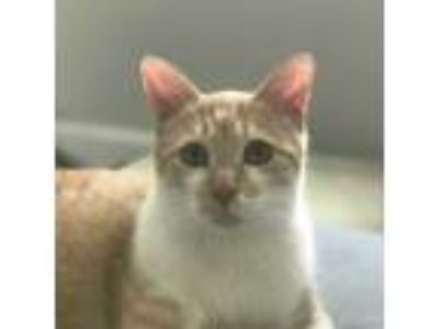 Adopt Lincoln a White Domestic Shorthair / Mixed cat in Youngsville