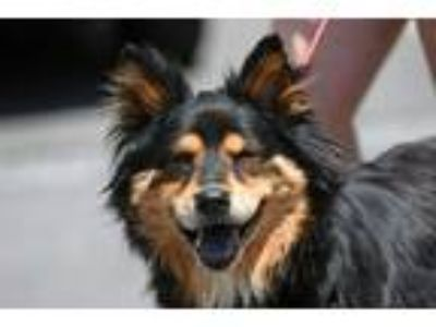 Adopt Baby a Black - with Brown, Red, Golden, Orange or Chestnut Chow Chow /