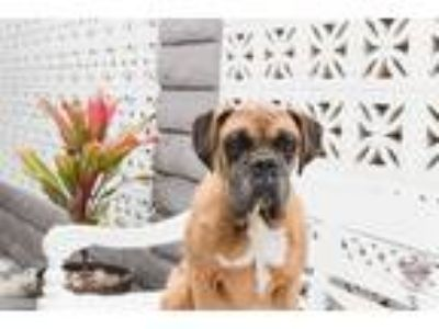 Adopt Torrance a Red/Golden/Orange/Chestnut - with Black Boxer / Mixed dog in