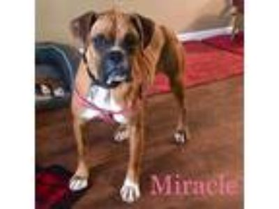 Adopt Miracle a Brown/Chocolate - with White Boxer / Mixed dog in Windsor