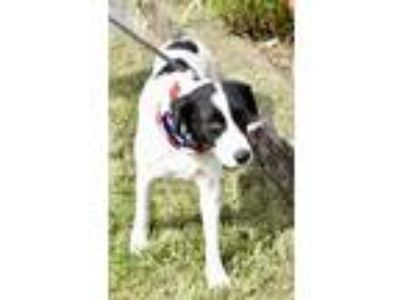 Adopt Polka a Border Collie / Mixed dog in Cleveland, TN (23459116)