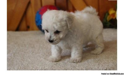 .bichon frise puppies
