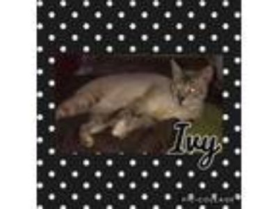 Adopt Ivy a Gray, Blue or Silver Tabby Siamese (short coat) cat in Nashville