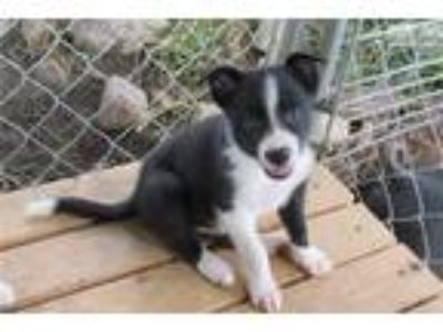 ABCA Registered Female Border Collie Puppy