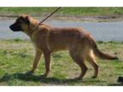 Adopt DEXTER a Brown/Chocolate Shepherd (Unknown Type) / Mixed dog in Mayfield