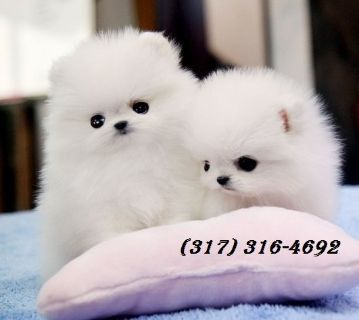Male And Female Pom Puppies