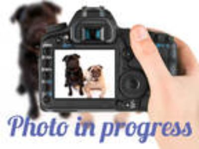 Adopt KEELO a Brown/Chocolate - with Black German Shepherd Dog / Mixed dog in