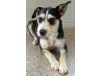 Adopt Joelle a Black - with Tan, Yellow or Fawn Schnauzer (Miniature) / Mixed