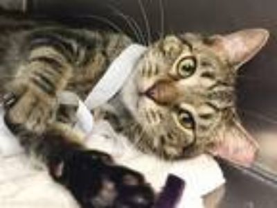 Adopt Archie a Domestic Shorthair / Mixed (short coat) cat in New York
