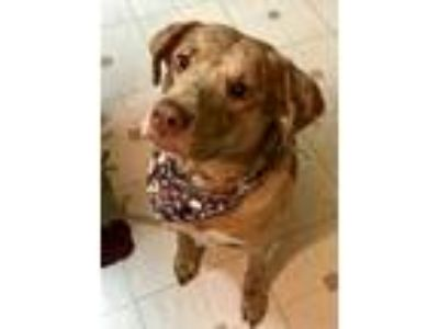 Adopt Brody a Tan/Yellow/Fawn Catahoula Leopard Dog / Mixed dog in Blackwood