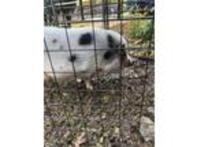 Adopt HAMPSHIRE a Pig (Potbellied) farm-type animal in Chicopee, MA (18514142)