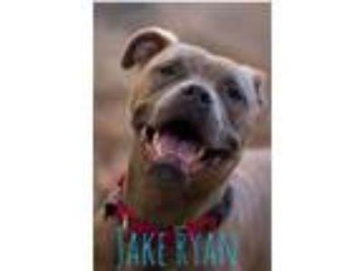 Adopt Jake Ryan a Pit Bull Terrier, Boxer