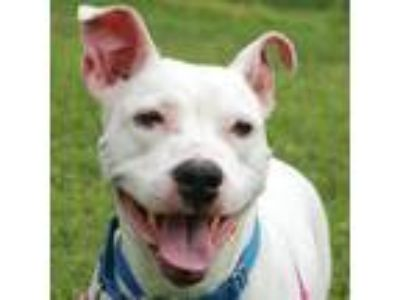 Adopt Stella a White American Pit Bull Terrier / Mixed dog in Washington