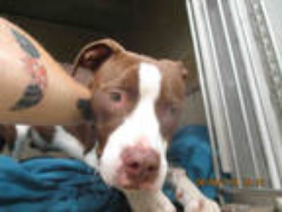 Adopt AARON a Red/Golden/Orange/Chestnut - with White American Pit Bull Terrier