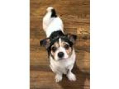 Adopt Odie a Tricolor (Tan/Brown & Black & White) Jack Russell Terrier / Poodle