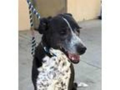 Adopt Izzy a Black - with White Border Collie / Mixed dog in Red Bluff