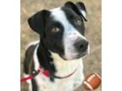 Adopt Aaron a Border Collie, Mixed Breed