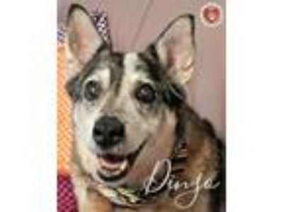 Adopt Dingo a Australian Cattle Dog / Blue Heeler