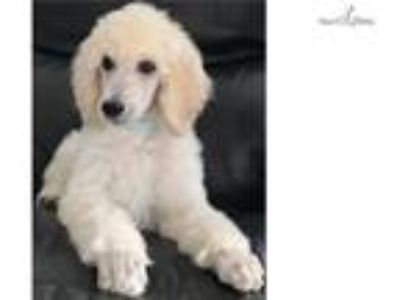 Coriander - Champion Line Poodles - In Training