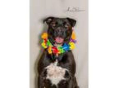 Adopt Tommie a Labrador Retriever, Mixed Breed