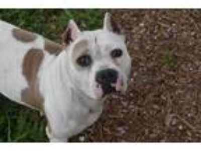 Adopt LILY a White - with Tan, Yellow or Fawn American Pit Bull Terrier / Mixed